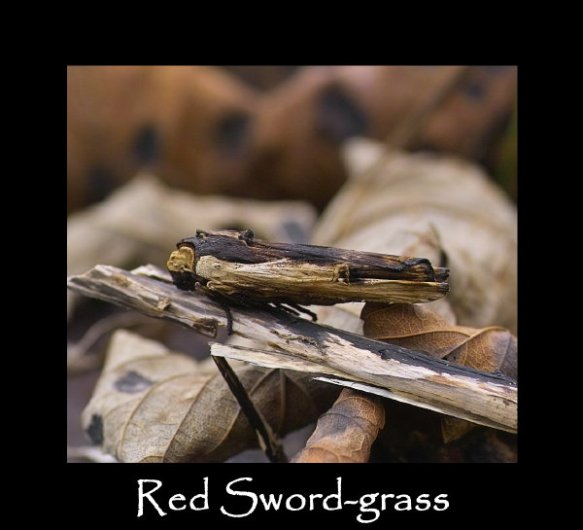L Red Sword-grass (8)