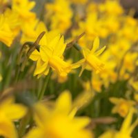 Daffodils and Dumpy Bags