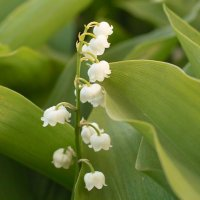 Lily of the Valley; Swallows; Links and the Evolution of our Terrace Garden