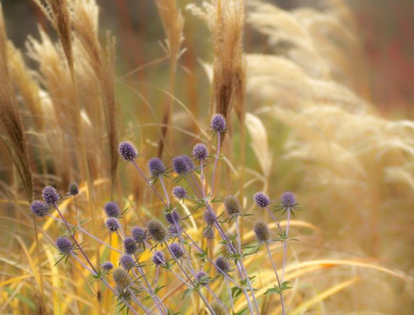 This chance planting combination has wowed me over weeks, particularly with low angle light and a strong wind...late flowers from Eryngium alpinum and seedheads of Miscanthus grasses, with some coloured Cornus and Salix stems in the out of focus background 23/11/11