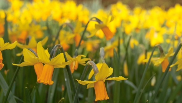 Narcissus 'Jetfire' at their peak in mid March 16/03/12