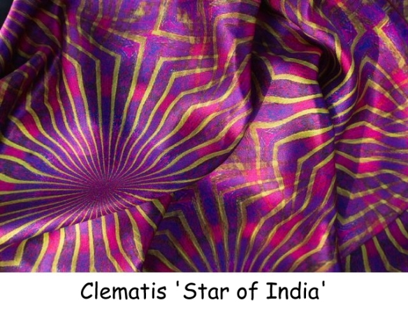 Clematis Star of India (2)