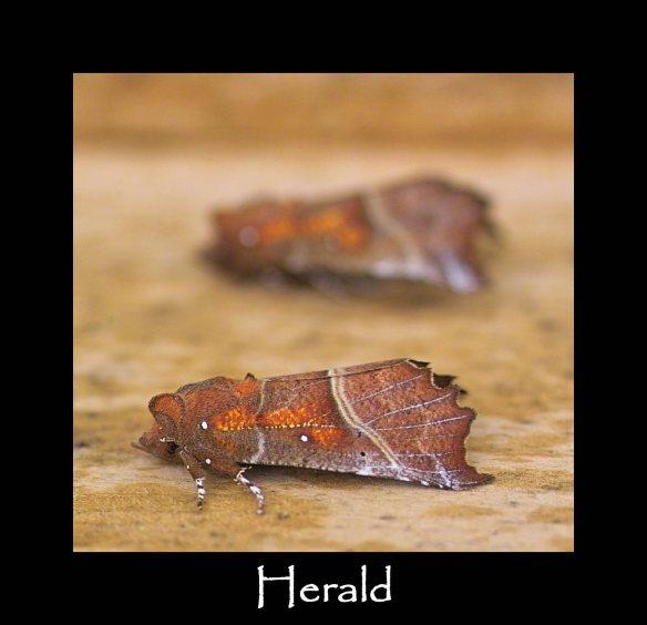 L Herald