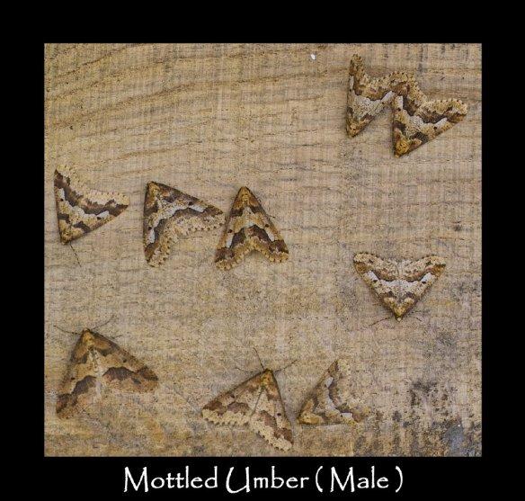 L Mottled Umber Male