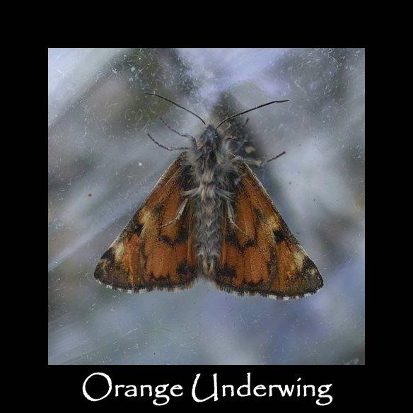 L Orange Underwing (2)