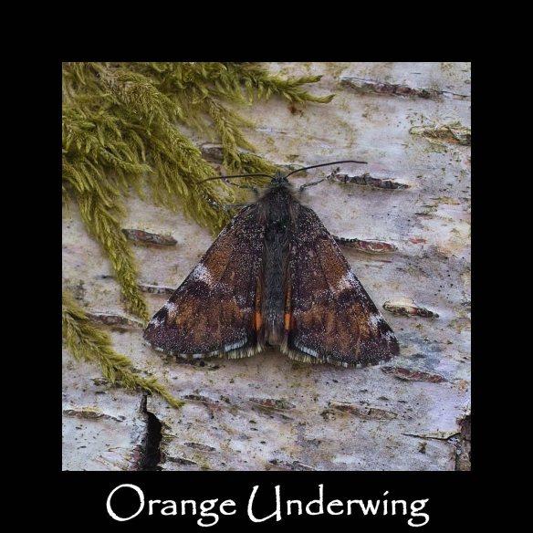 L Orange Underwing