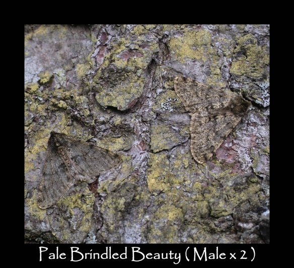L Pale Brindled Beauty Male x 2