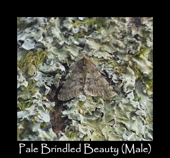 L Pale Brindled Beauty (Male)