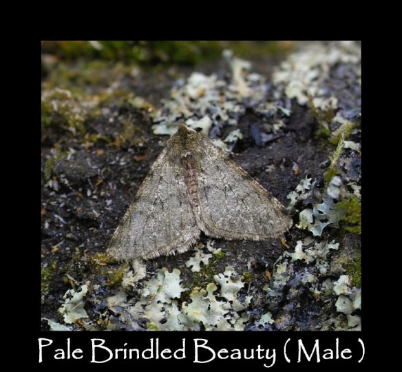 L Pale Brindled Beauty (Male )