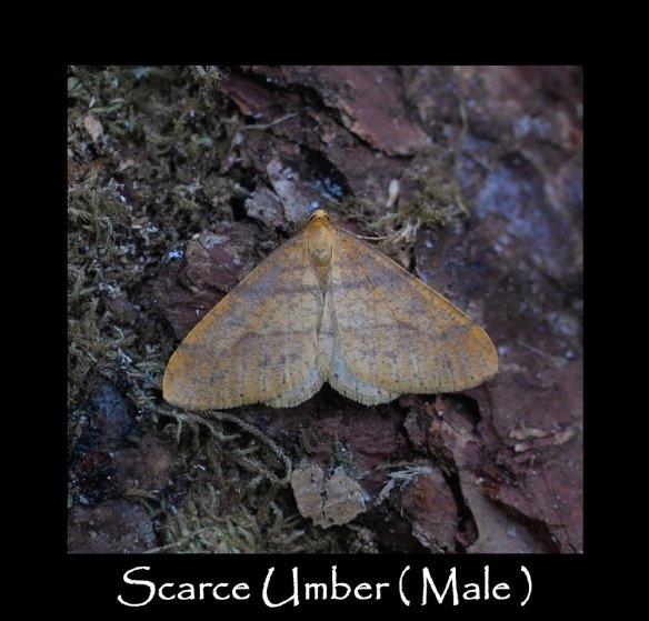 L Scarce Umber ( Male )