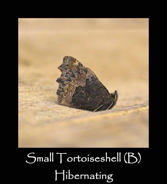 L Small Tortoiseshell (B) Hibernating