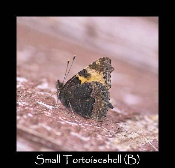 L Small Tortoiseshell (B)