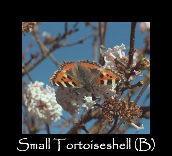 L Small Tortoiseshell (B)2