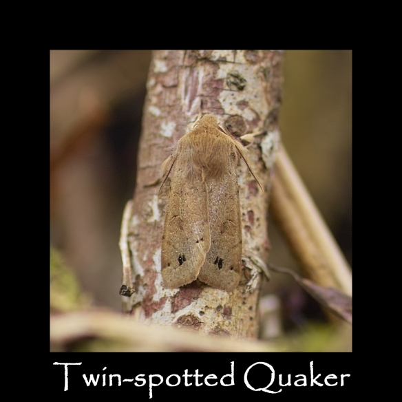 L Twin-spotted Quaker