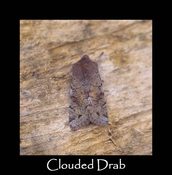 M Clouded Drab 2