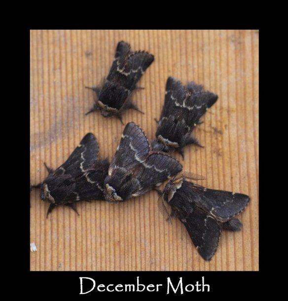 M December Moth