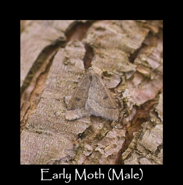 M Early Moth (Male)