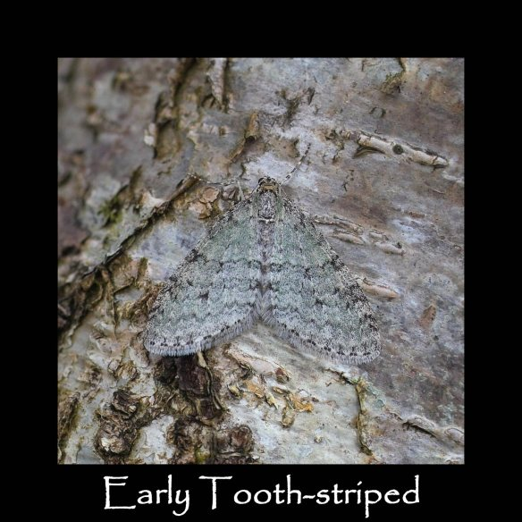 M Early Tooth-striped 2