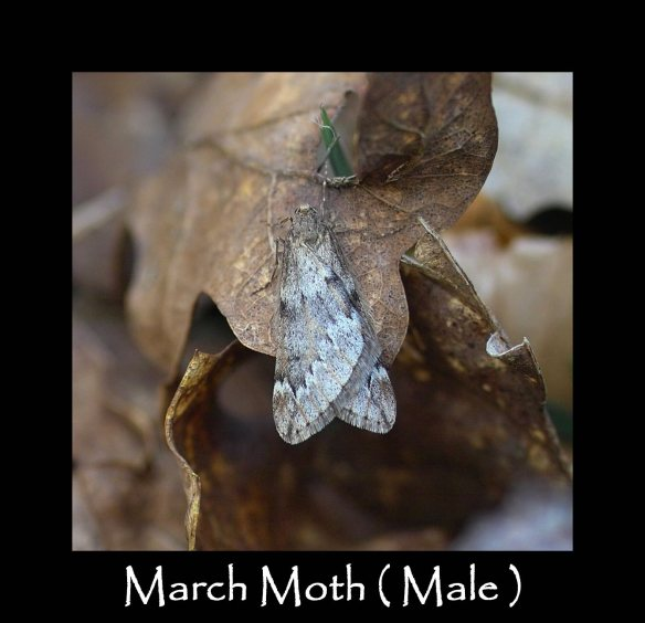 M March Moth ( Male )