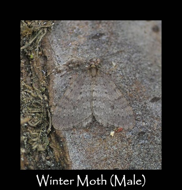 M Winter Moth (Male)