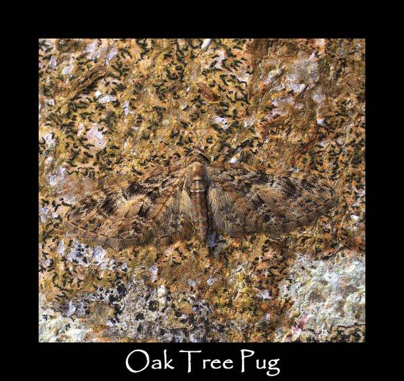 S Oak Tree Pug