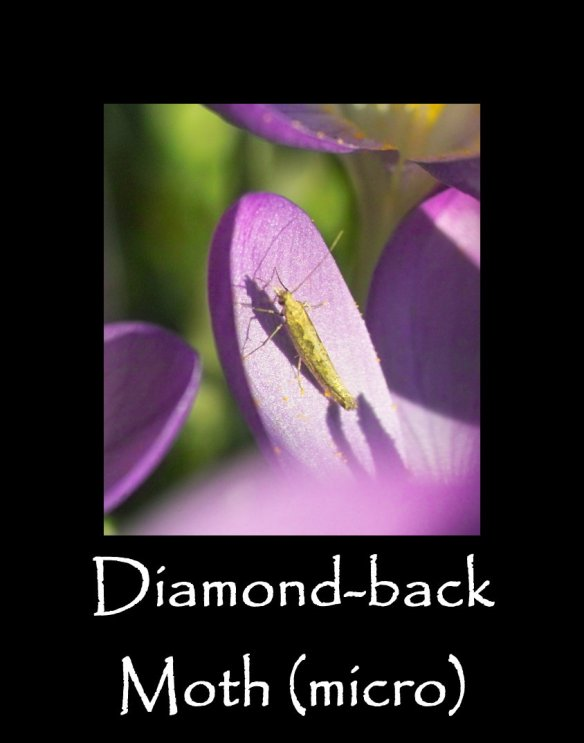 T Diamond-back Moth (micro) 2