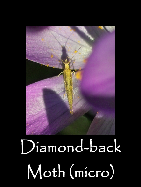 T Diamond-back Moth (micro)