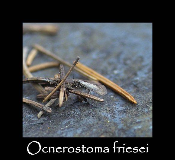 T Ocnerostoma friesei