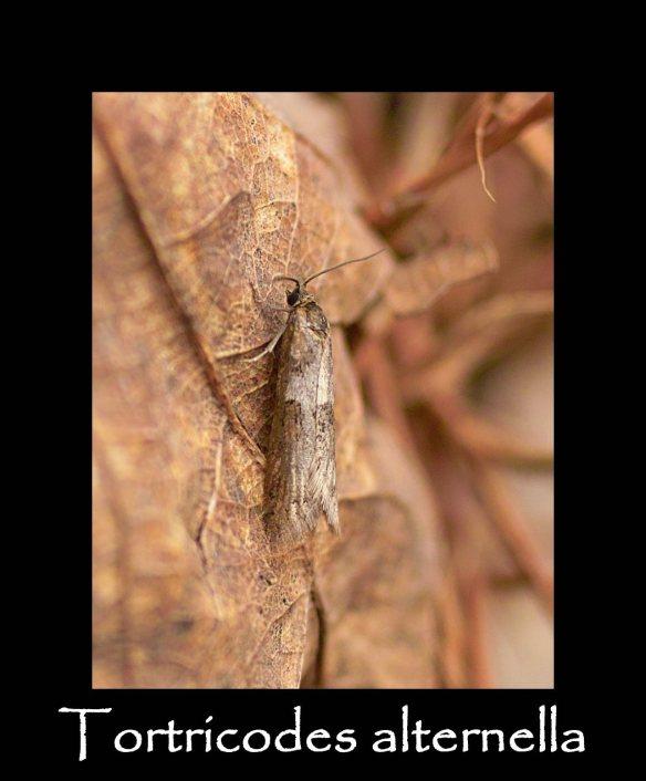 T Tortricodes alternella 2