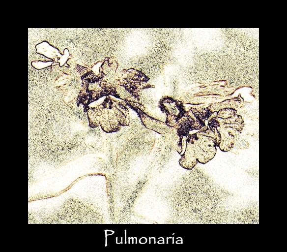 zz 1 Pulmonaria