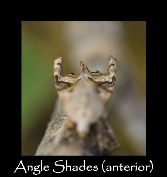 L Angle Shades (anterior)