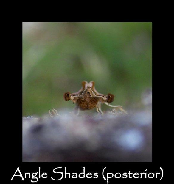 L Angle Shades (posterior)