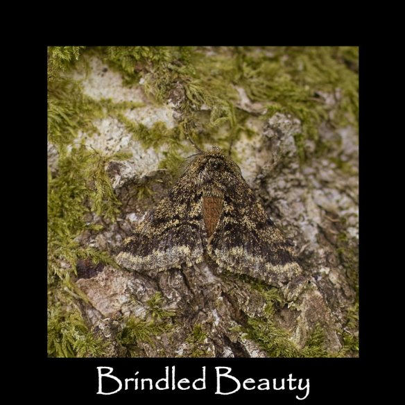 L Brindled Beauty