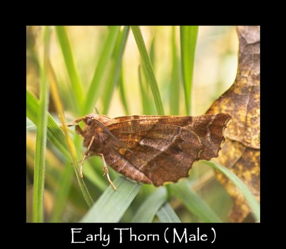 L Early Thorn ( Male )
