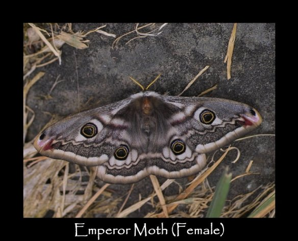 L Emperor Moth (Female)