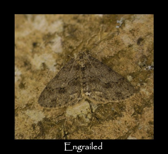 L Engrailed ( 2 )