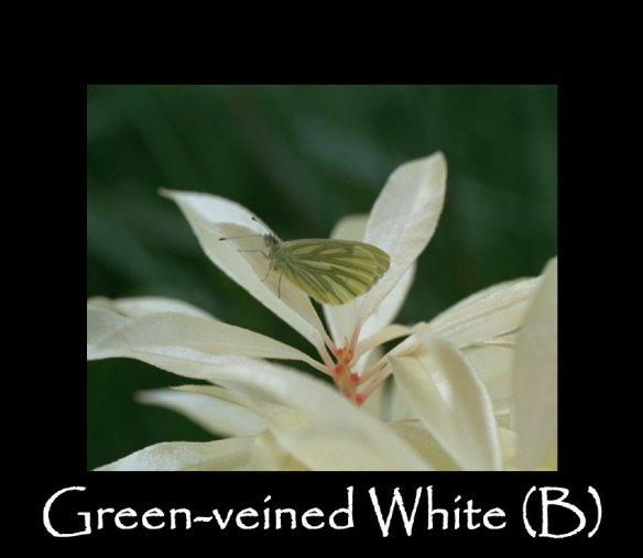 L Green-veined White (B) 2