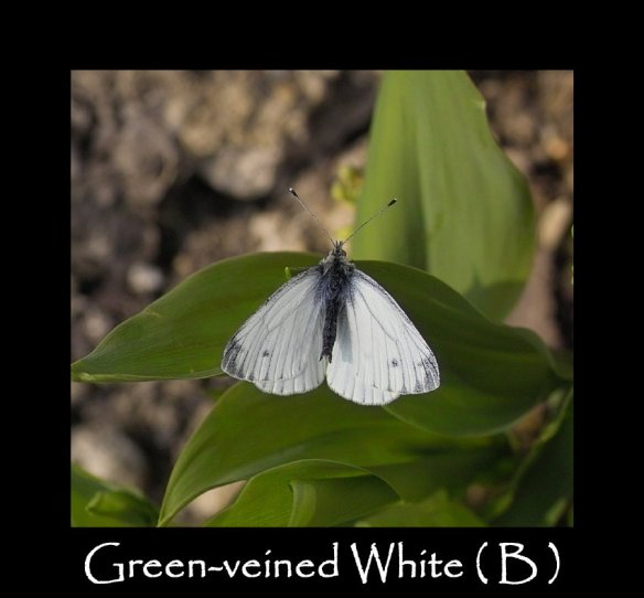 L Green-veined White ( B )