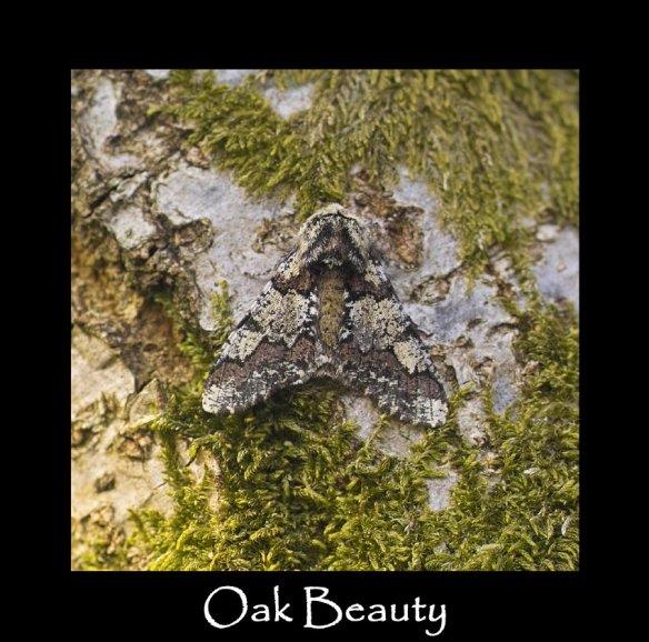L Oak Beauty