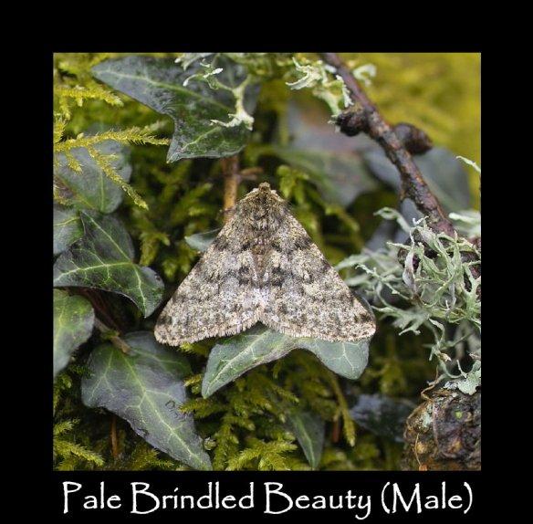 L Pale Brindled Beauty ( Male )