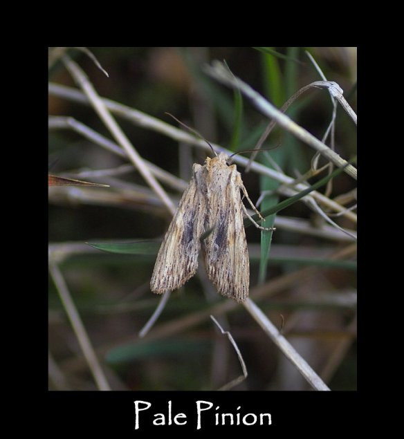 L Pale Pinion