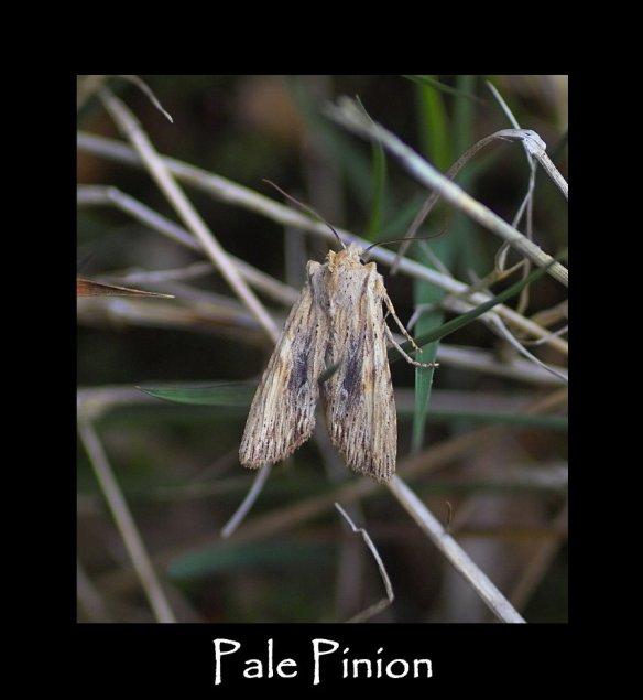 L Pale Pinion