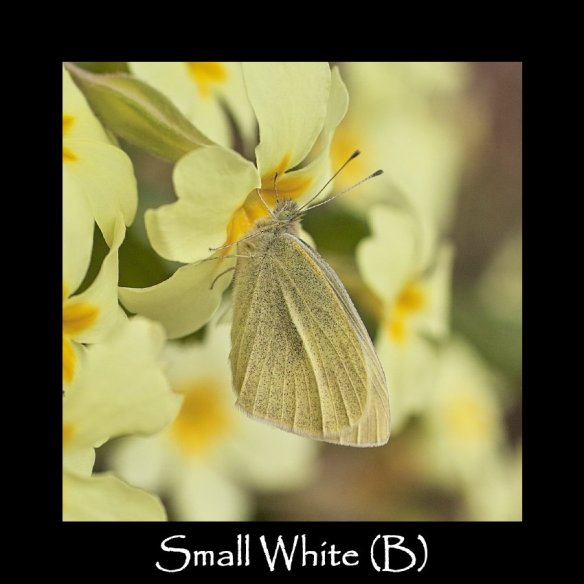 L Small White (B)