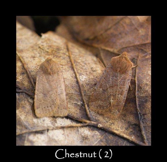 M Chestnut (2)
