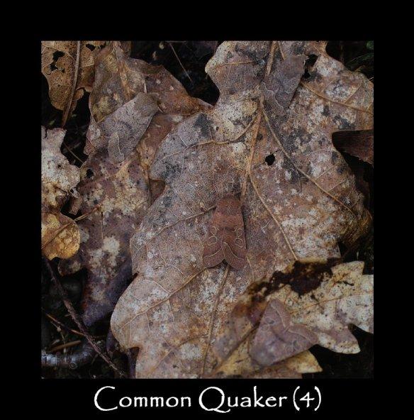 M Common Quaker (4)