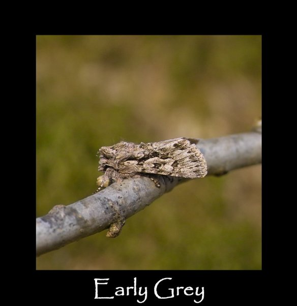 M Early Grey