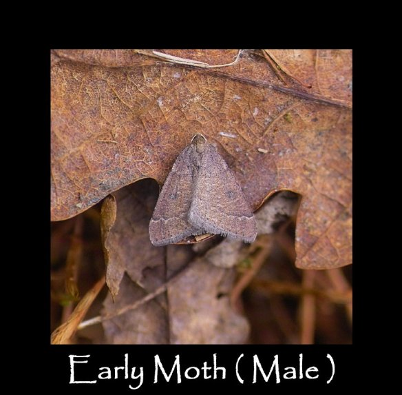 M Early Moth ( Male )