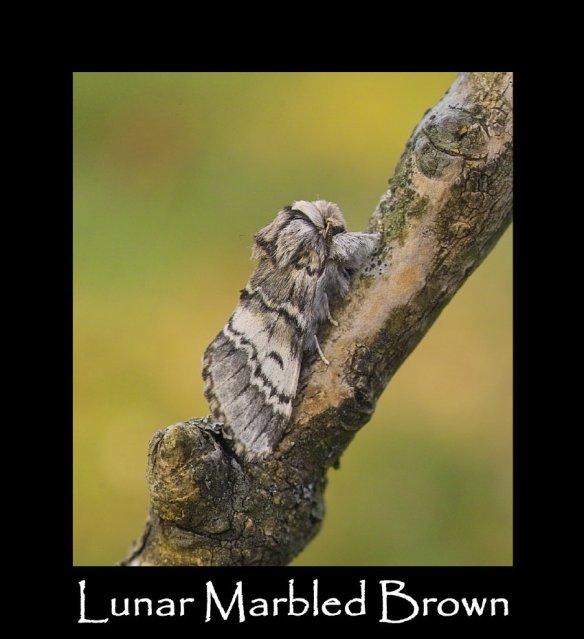M Lunar Marbled Brown (2)