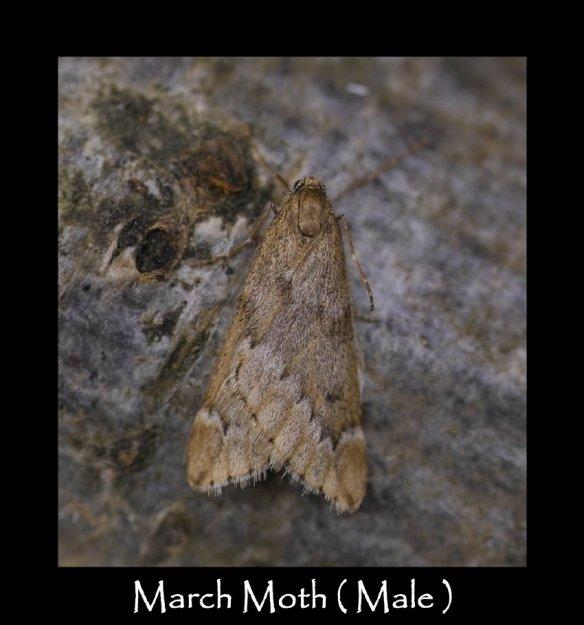 M March Moth ( Male )