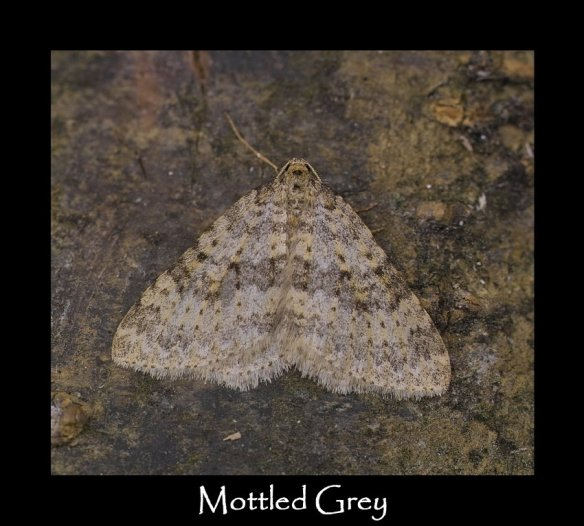 M Mottled Grey